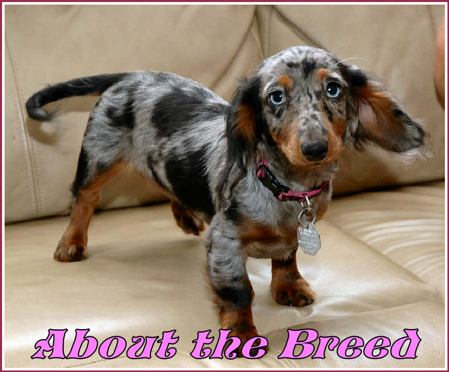 The Modern Day Dachshund Was Developed In Germany Where It Is Still